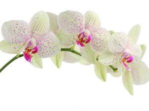 orchidée, la fleur de la pureté idéal pour les mariages